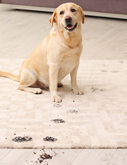 mud stain on rug by dog | Cherry City Interiors